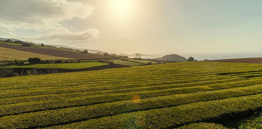 São Miguel Island - Gorrena Tea Plantation