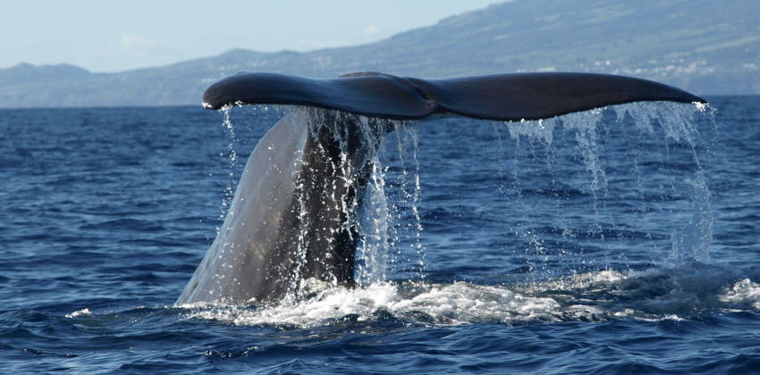 Azores - Whale Watching