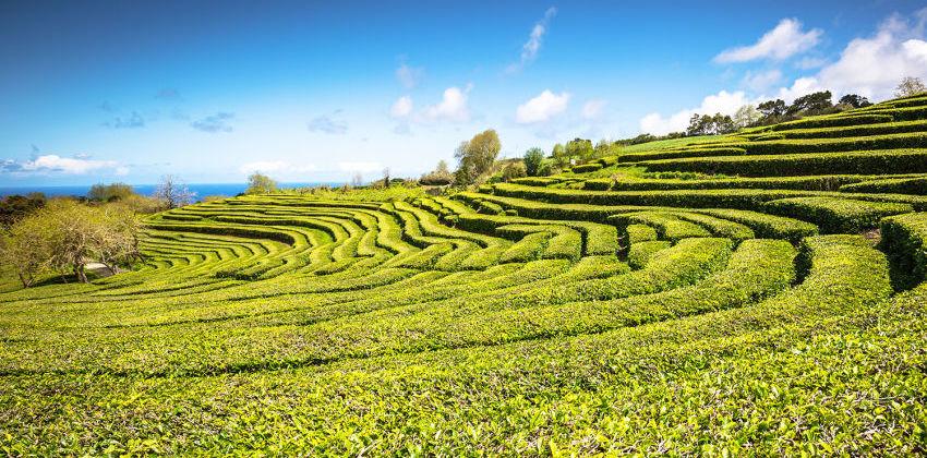 São Miguel Island, Azores - Tea Fields