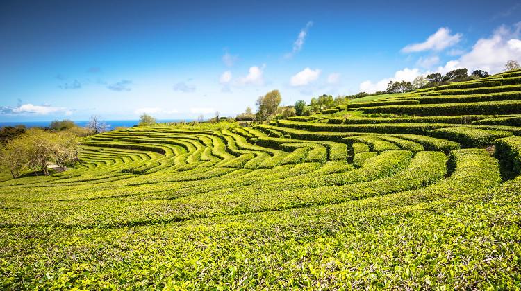 Azores, São Miguel - Tea Plantion